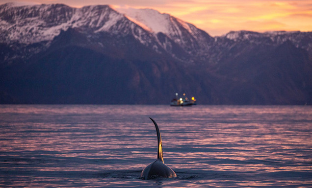 Swim with Wild Orcas Photo Tour Artica Studios
