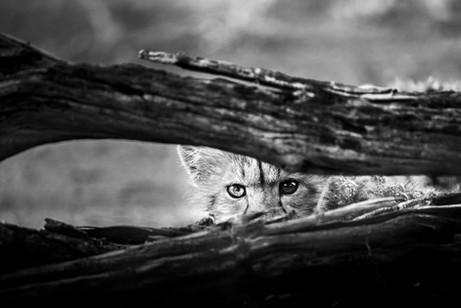 Chase Teron Wildlife Photographer Cheetah Cub Portrait