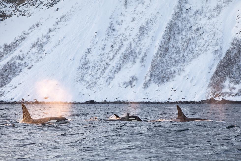 Jenni Lisacek Whale Photography Norway