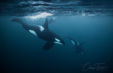 Chase Teron Swims with wild Orcas Photog