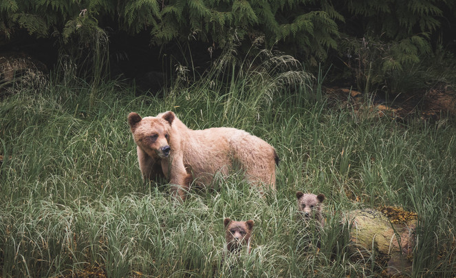 Chaes Teron Wildlife Photography Grizzly Bears
