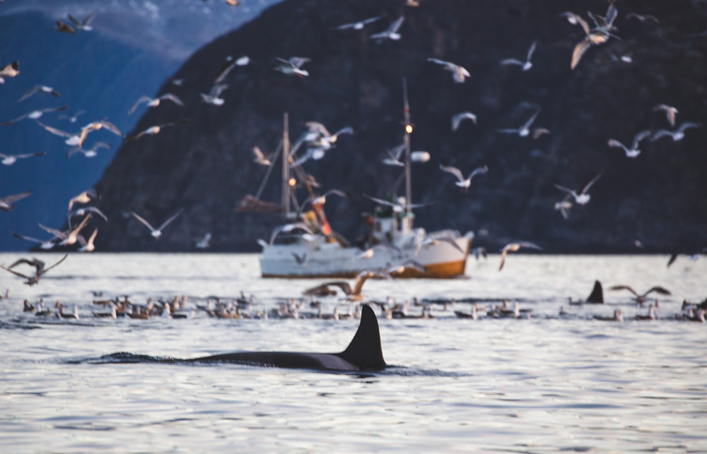 Tour to swim with wild orcas in Norway - Artica Studios
