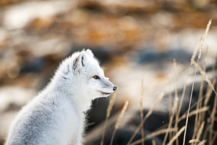 Tundra Wildlife Jenni Lisacek-52-13.jpg