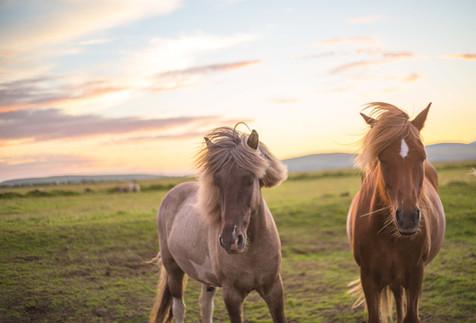 Chase Teron Icelandic Horses Photography