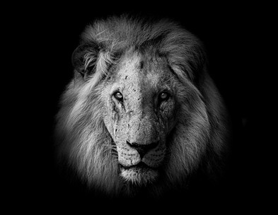 Chase Teron Wildlife Photographer Lion Portrait