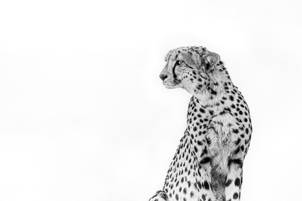 Chase Teron Wildlife Photographer Cheetah Portrait
