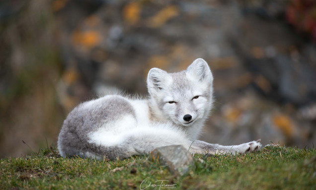 Arctic Fox in Svalbard by Chase Teron