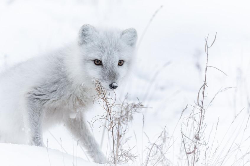 Tundra Wildlife Jenni Lisacek-111.jpg