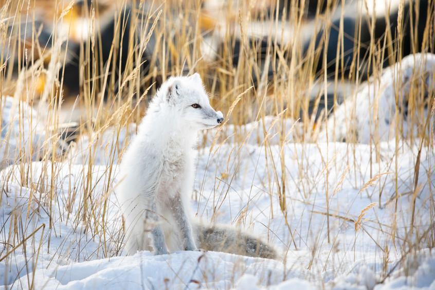 Tundra Wildlife Jenni Lisacek-52-10.jpg