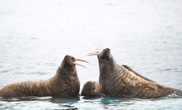 Walrus family in Svalbard by Chase Teron