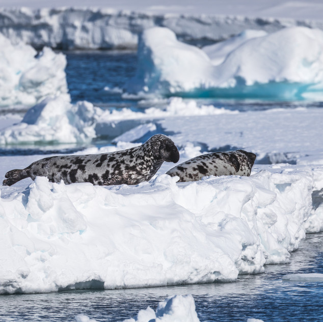 Hooded Seal Svalbard by Chase Teron