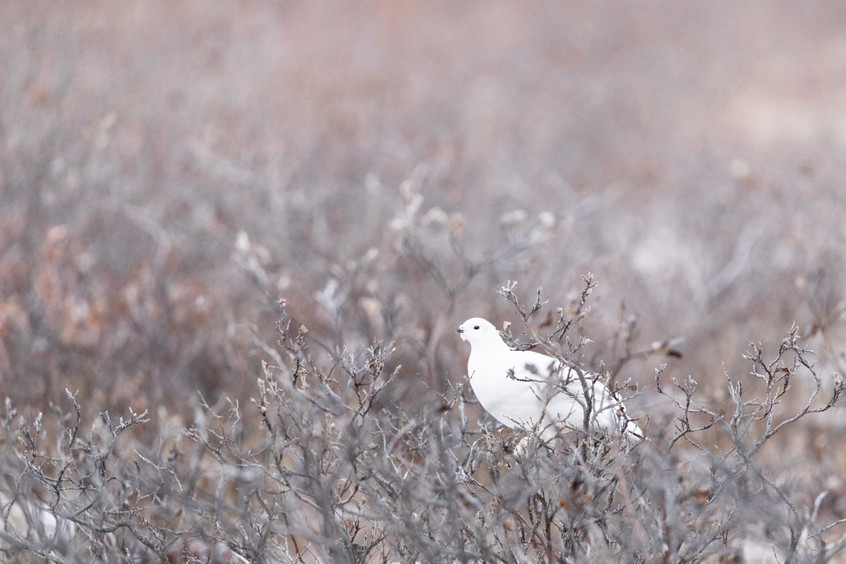 Tundra Wildlife Jenni Lisacek-3.jpg