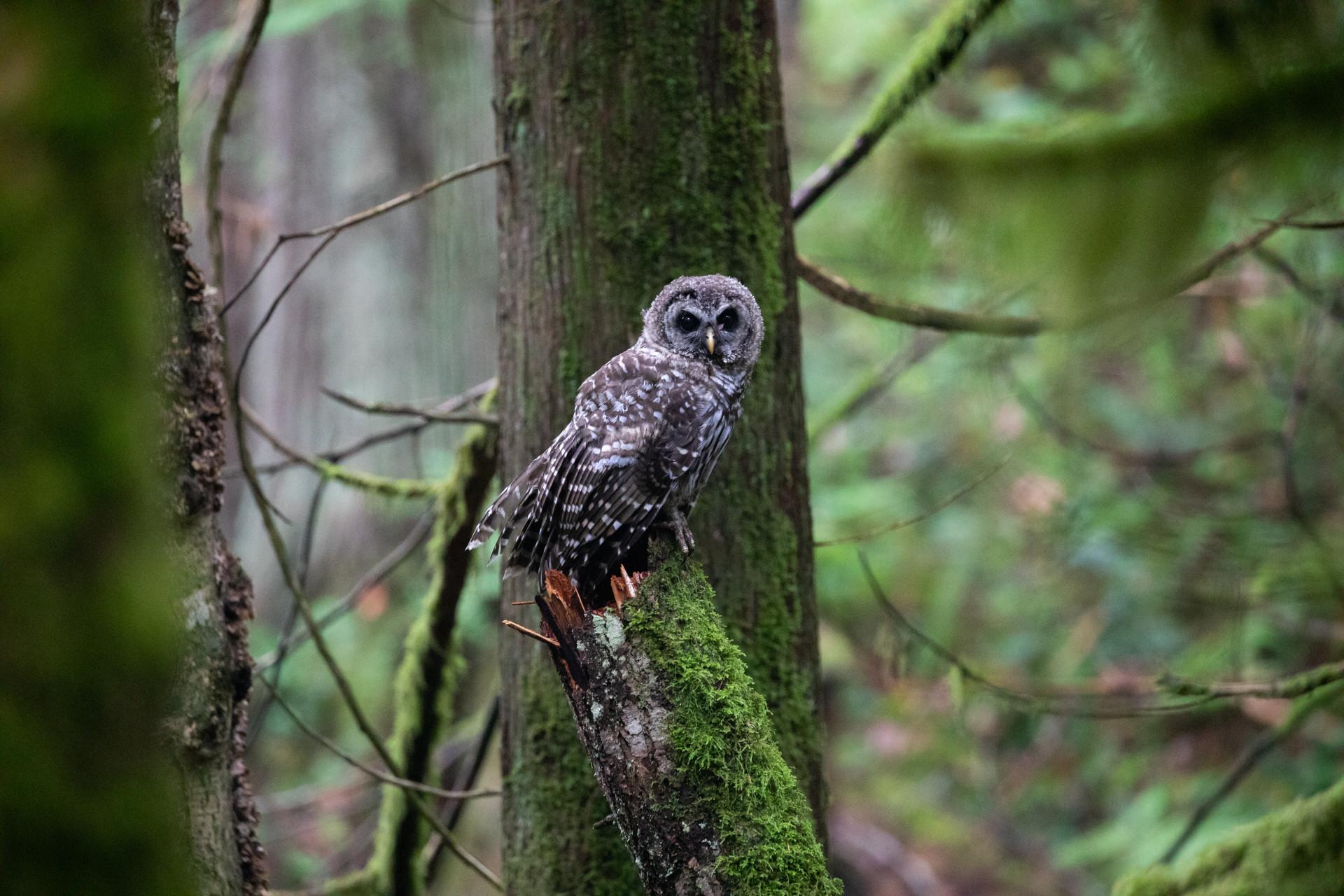 Owl Jenni Lisacek Photography