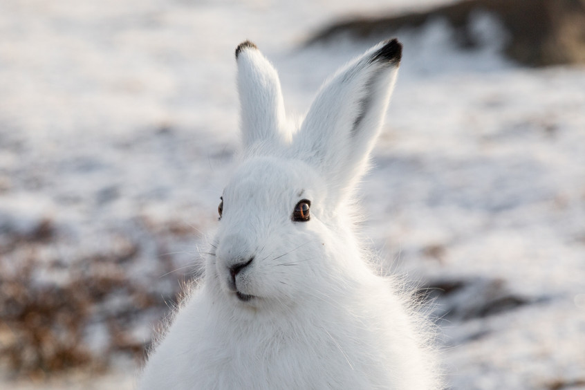 Tundra Wildlife Jenni Lisacek-11.jpg