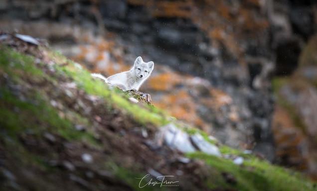 Arctic Fox photo tour in Svalbard Chase Teron