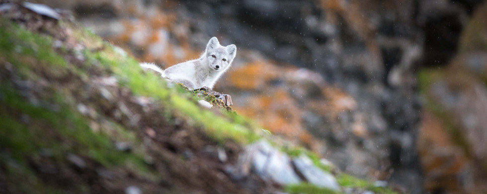 Arctic Fox photo tour in Svalbard Chase Teron