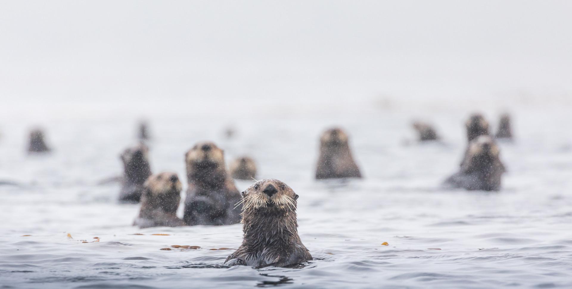 Sea Otter Photography Tour Vancouver Island Artica Studios