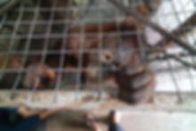 Chase Teron Photographer Orangutan Conse