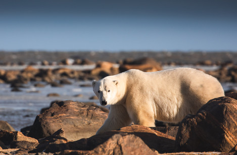 Chase Teron Walking with Polar Bears Churchill Wild