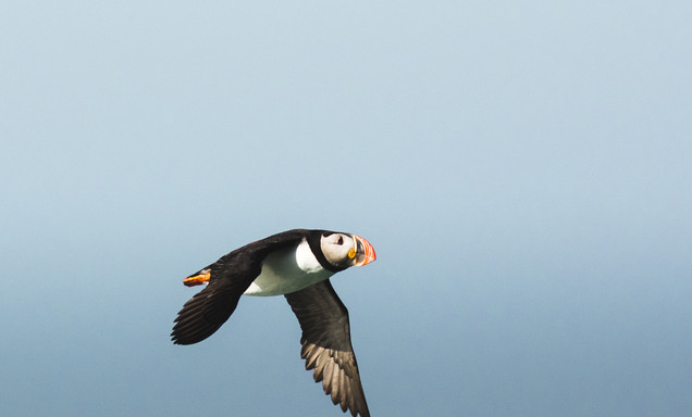 Puffins in Svalbard by Chase Teron