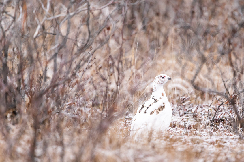 Tundra Wildlife Jenni Lisacek-2.jpg