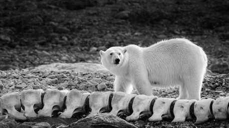 Polar Bears in Svalbard by Whale Skeleton photographed by Chase Teron