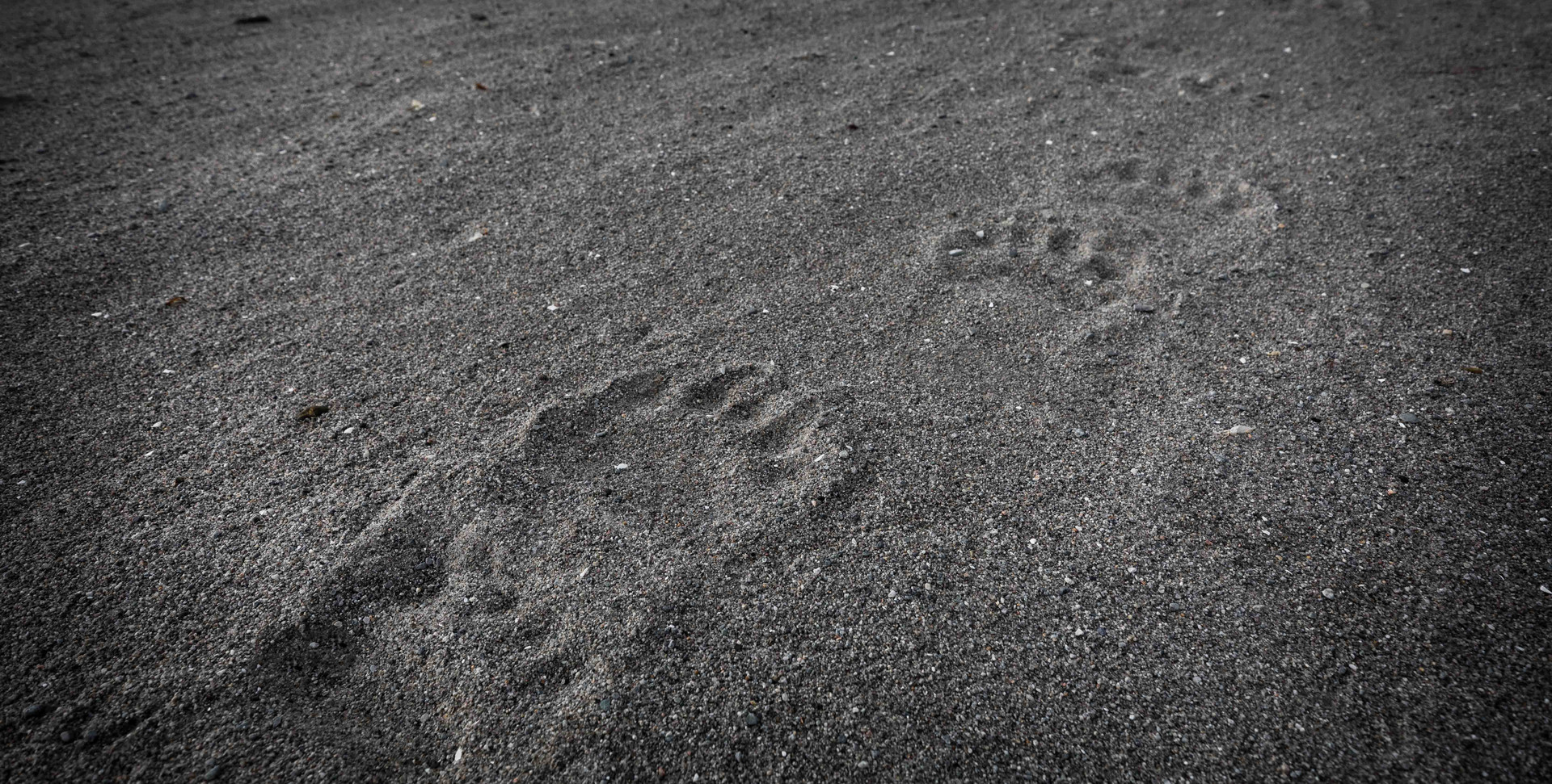 Polar Bear footprints in Svalbard by Chase Teron