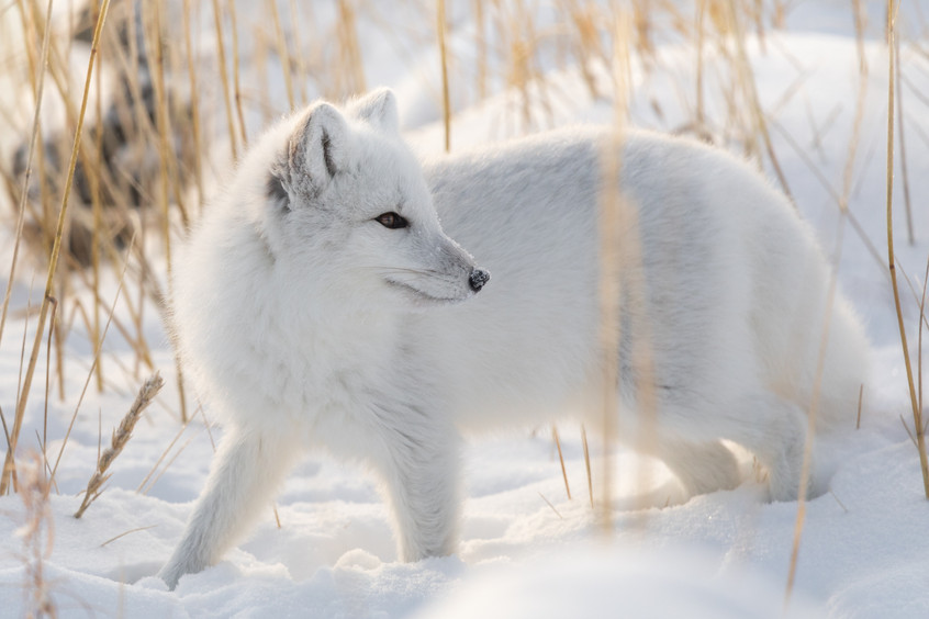 Tundra Wildlife Jenni Lisacek-52-3.jpg