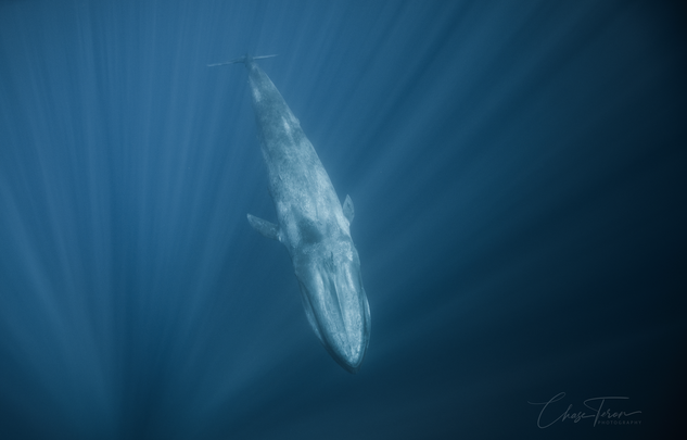 Chase Teron Blue Whale Aquatica.png
