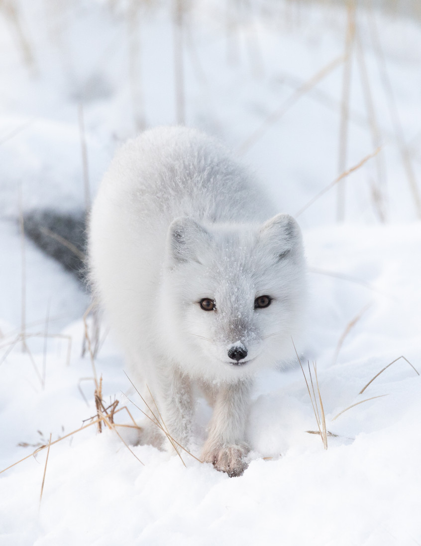 Tundra Wildlife Jenni Lisacek-40.jpg