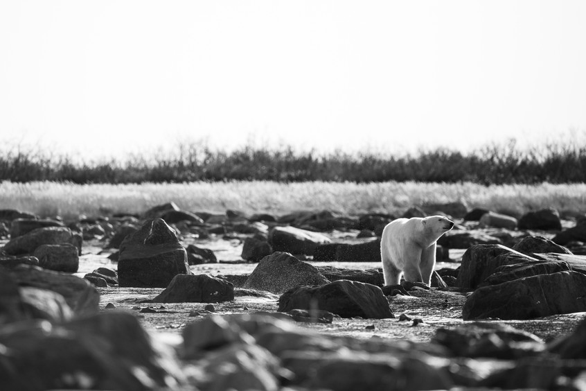 Tundra Wildlife Jenni Lisacek-12.jpg