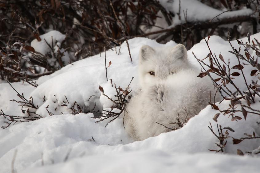 Tundra Wildlife Jenni Lisacek-52-2.jpg