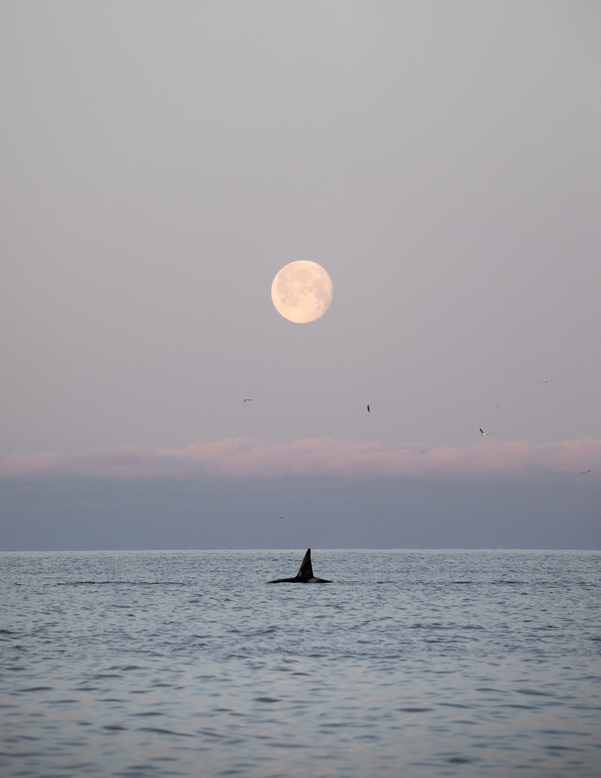 Norway Moon Orca Jenni