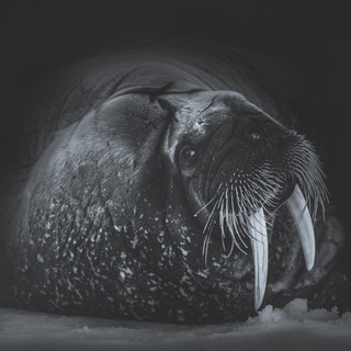 Walrus Portrait by Chase Teron