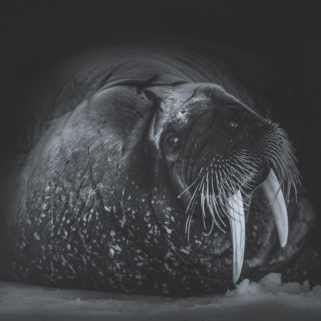 Walrus Portrait by Chase Teron