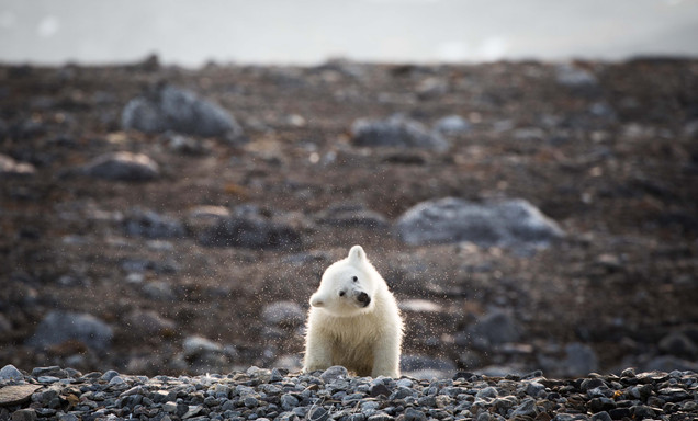 Polar Bear Tour in Svalbard by Chase Teron of Artica Studios