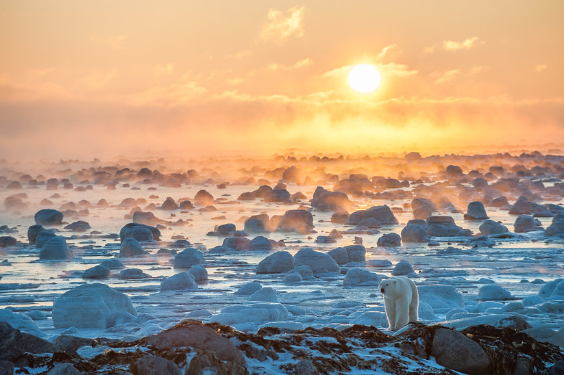 Sunset polar bear_courtesy of Churchill