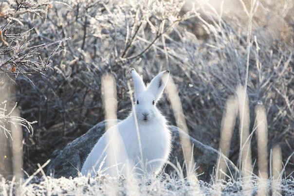 Arctic Hare by Chase Teron Churchill Wild Polar Seal River Lodge