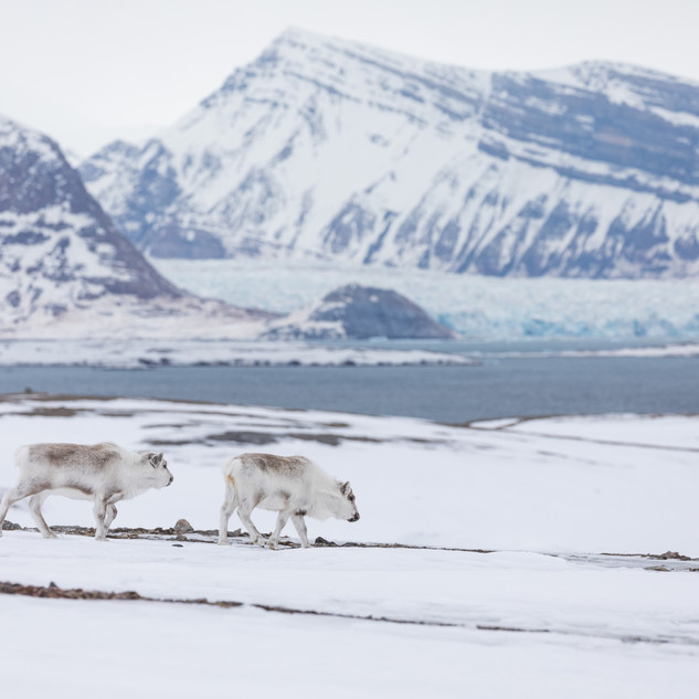 Reindeer in Svalbard by Chase Teron