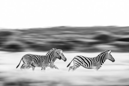 Chase Teron Wildlife Photographer Running Zebras