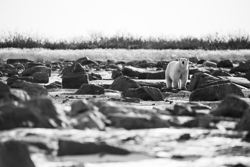 Tundra Wildlife Jenni Lisacek-14.jpg