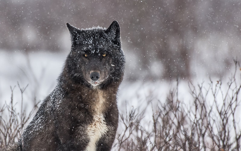 Wolf_courtesy of Chruchill Wild_photo by