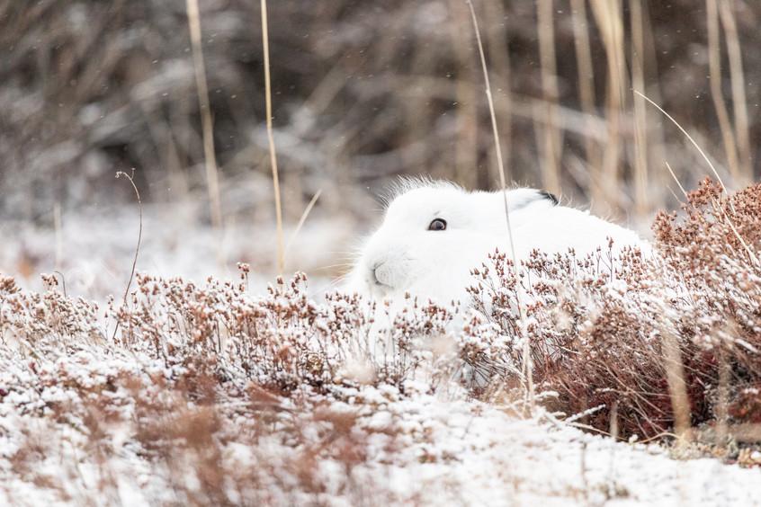 Tundra Wildlife Jenni Lisacek-6.jpg