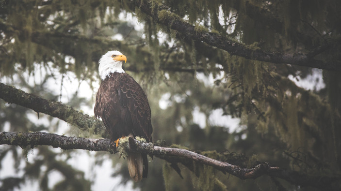 Eagle Great Bear Rainforest by Chase Teron Photographer