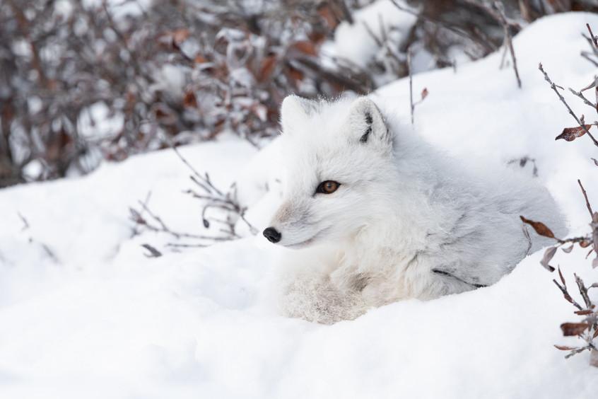Tundra Wildlife Jenni Lisacek-41.jpg