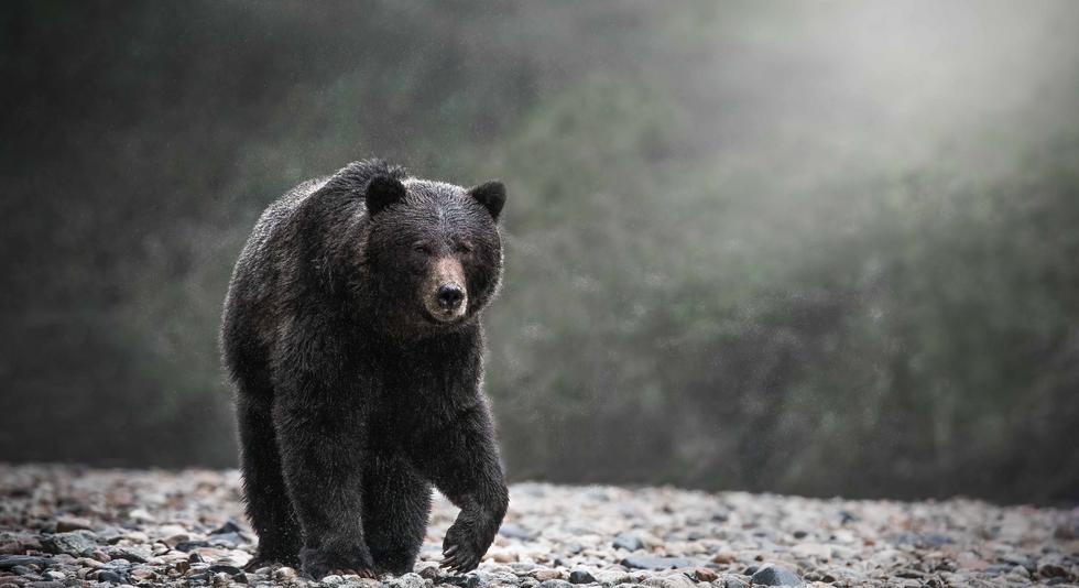 Walk Amongst Grizzlies in the Great Bear Rainforest