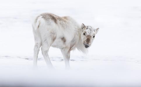 Svalbard Reindeer by Chase Teron