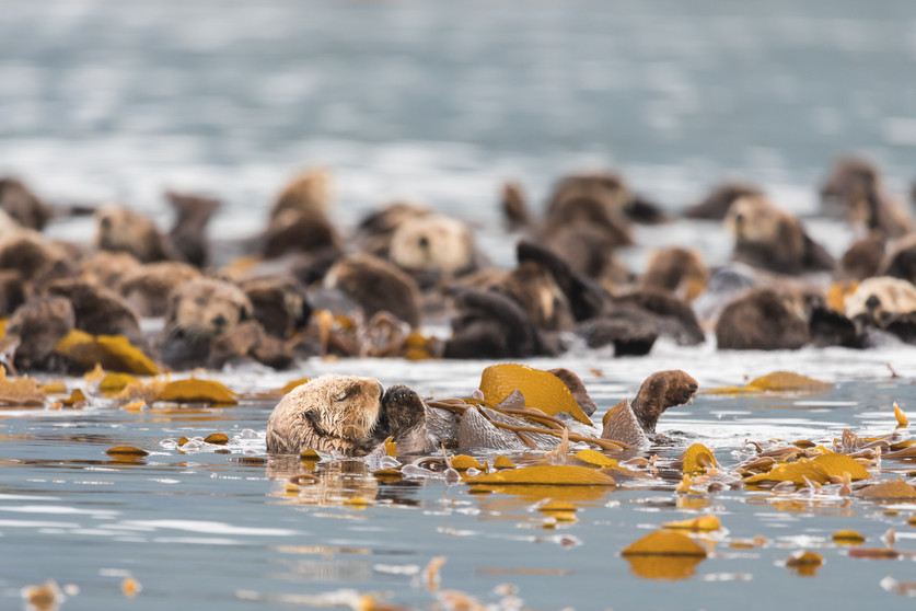 Wild sea otters photography by Jenni Lisacek