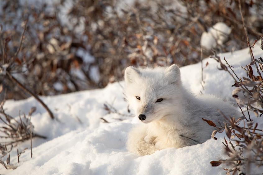 Tundra Wildlife Jenni Lisacek-43.jpg