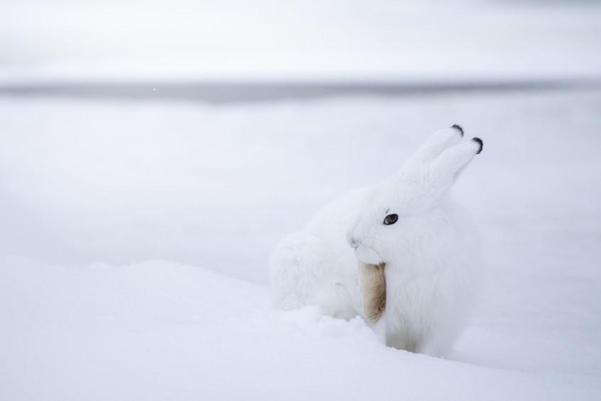Tundra Wildlife Jenni Lisacek-52-6.jpg